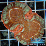 Red & Green Trachyphyllia