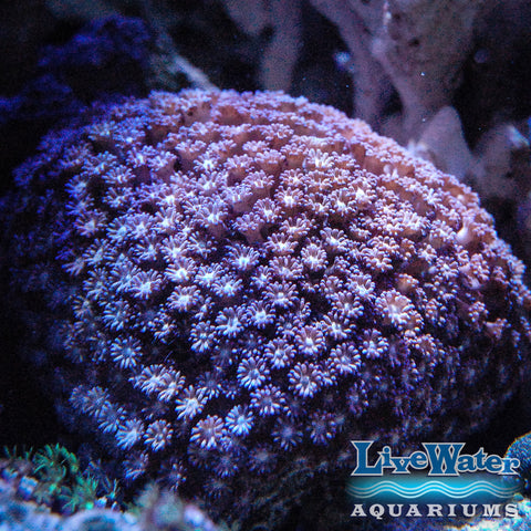 Purple Daisy Coral