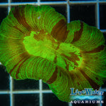 Kryptonite Trachyphyllia