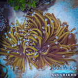 Torch coral; Australian; Gold Torch Coral; Live Coral; Aquarium; Reef