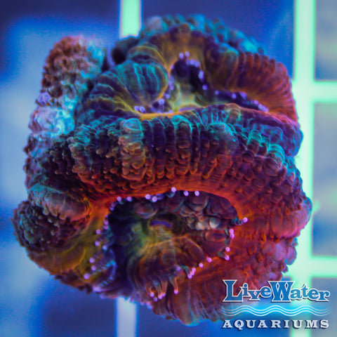 Orange / Rainbow Acanthastrea