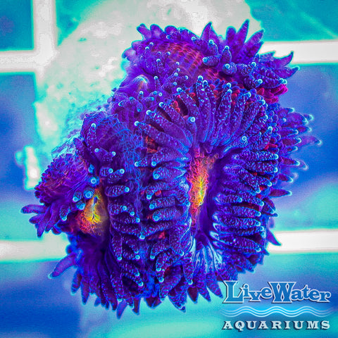 "Purple / Orange ""Meteor"" Acanthastrea"