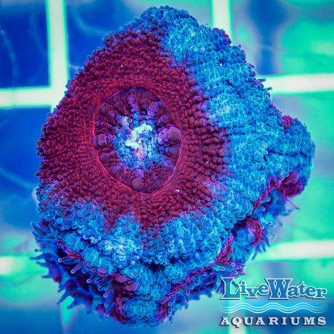 Red & Turquoise Acanthastrea