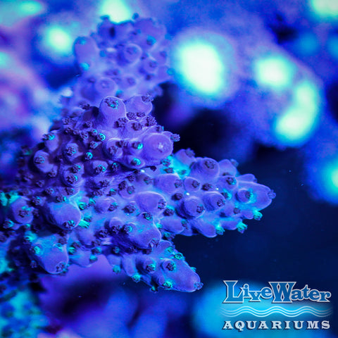 Purple / Green Acropora