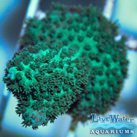 Blue / Green Acropora