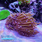 Gold Torch; Euphyllia; LPS; Live Coral; Aquariums; Torch Coral