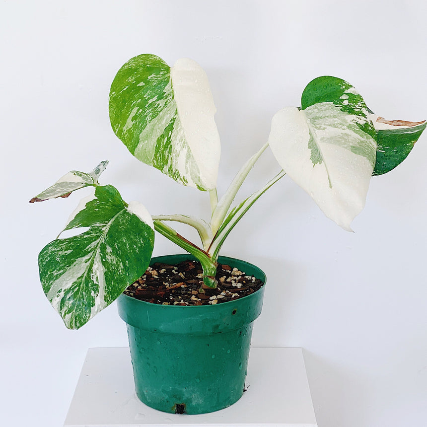 Monstera borsigiana albo variegata A (Variegated Monstera)