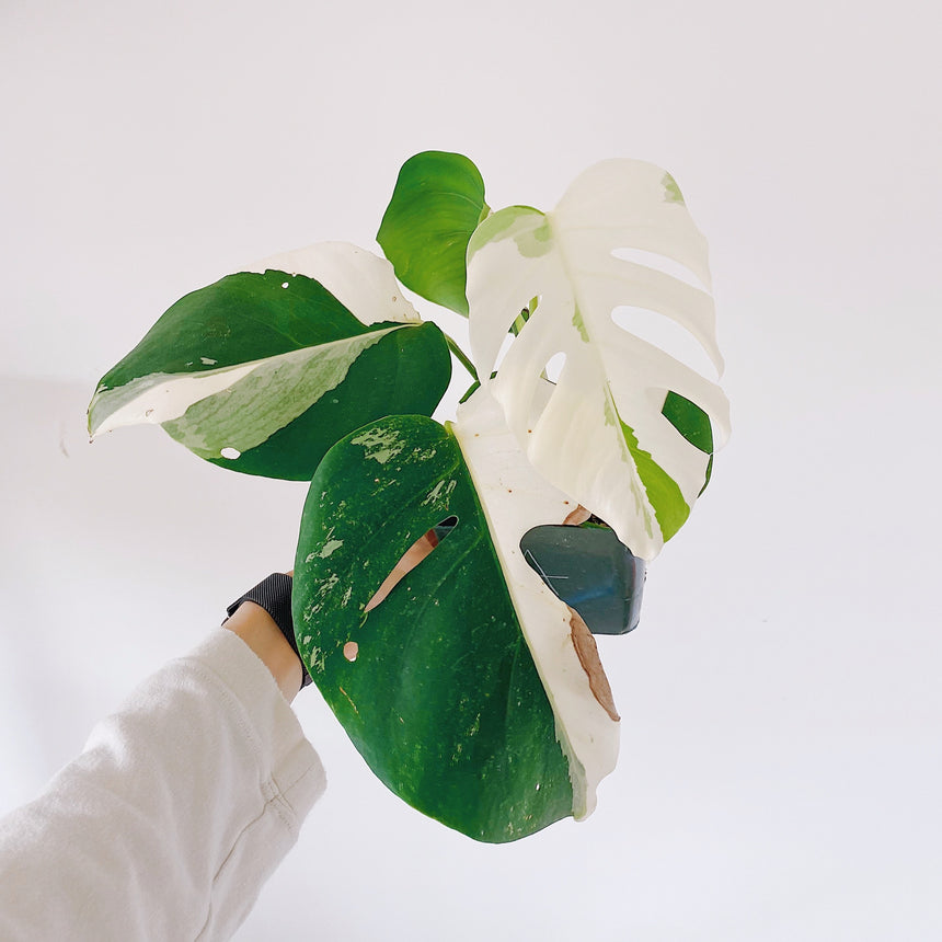Monstera borsigiana albo variegata B (Variegated Monstera)