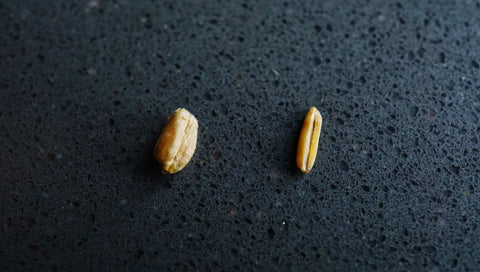 Wheat compared to Kernza