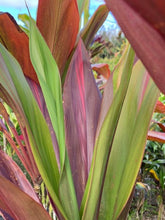 Load image into Gallery viewer, Cordyline 'Black Magic'