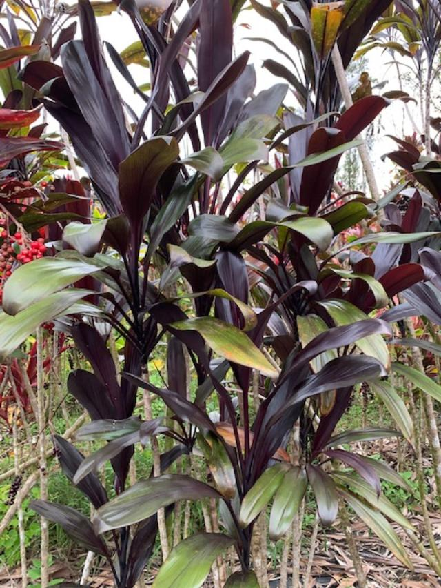 Cordyline 'Black Thunder'