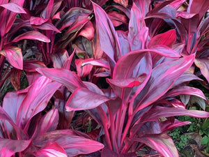 Cordyline 'Firefountain'