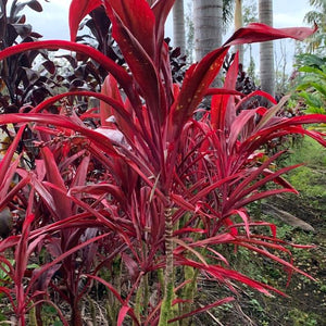 Cordyline 'Red RoosterTail'