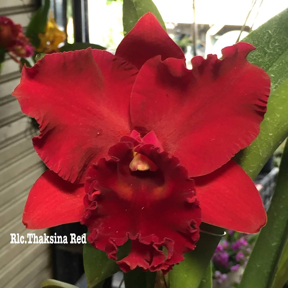 Rlc. Thaksina Red