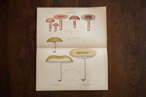 Large Edible Mushrooms Fungi Plate 85