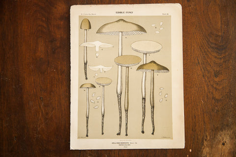 Edible Fungi Lithograph Plate 48 - Old New House