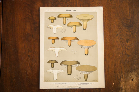 Edible Fungi Lithograph Plate 53 - Old New House