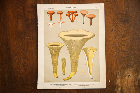 Edible Fungi Lithograph Plate 55 - Old New House