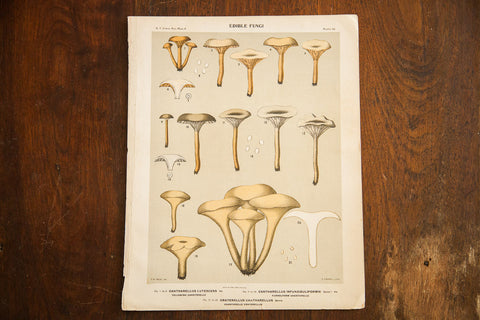 Edible Fungi Lithograph Plate 56 - Old New House