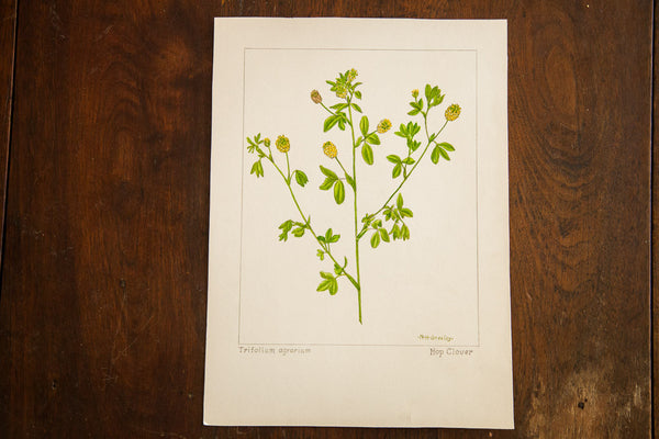 Hop Clover Botanical Watercolor Rh Greeley