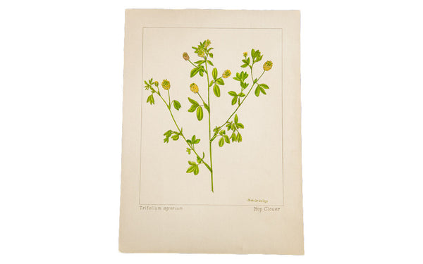 Hop Clover Botanical Watercolor R.H. Greeley - Old New House