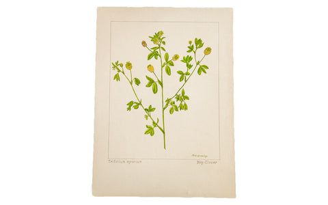 Hop Clover Botanical Watercolor R.H. Greeley