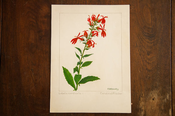 Cardinal Flower Botanical Watercolor R.H. Greeley - Old New House