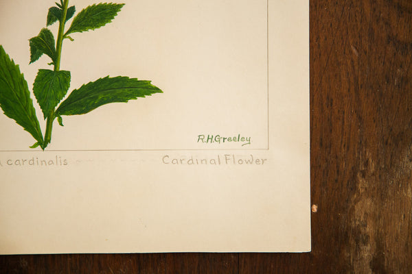Cardinal Flower Botanical Watercolor Rh Greeley
