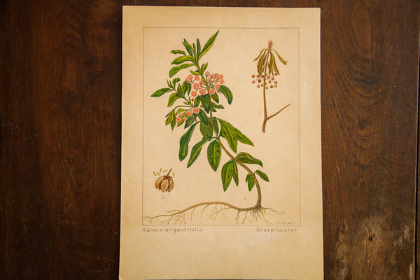 Sheep-Laurel Botanical Watercolor R.H. Greeley - Old New House