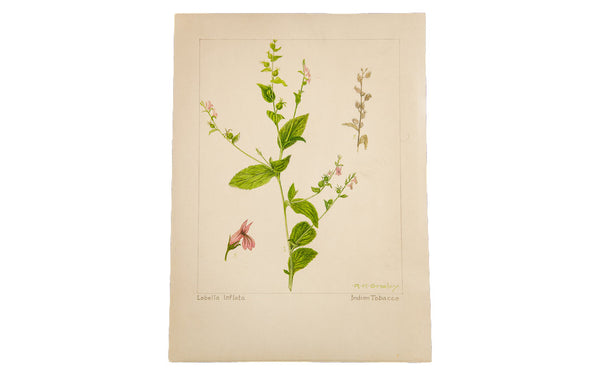 Indian Tobacco Botanical Watercolor R.H. Greeley