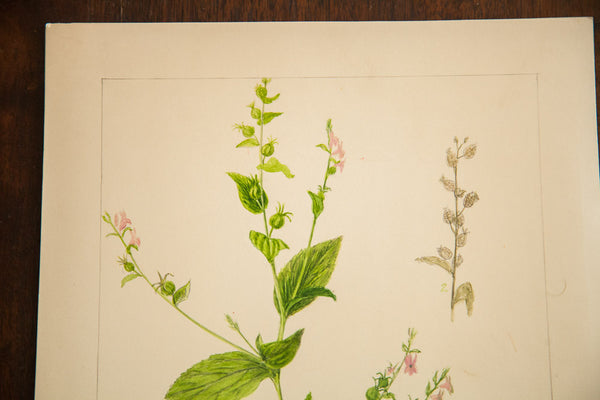 Indian Tobacco Botanical Watercolor Rh Greeley