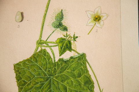 One-Seeded Bur-Cucumber Botanical Watercolor R.H. Greeley - Old New House