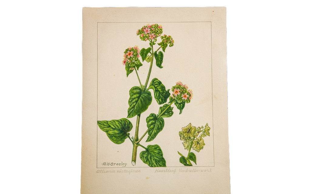 Heartleaf Umbrella-Wort Botanical Watercolor R.H. Greeley - Old New House