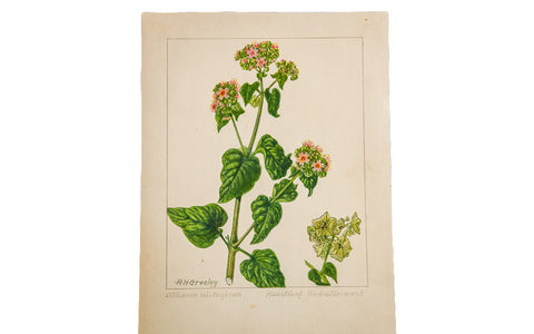 Heartleaf Umbrella-Wort Botanical Watercolor R.H. Greeley