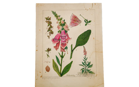 Foxglove Botanical Watercolor R.H. Greeley