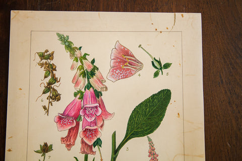 Foxglove Botanical Watercolor R.H. Greeley - Old New House