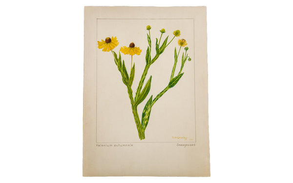 Sneezeweed Botanical Watercolor R.H. Greeley