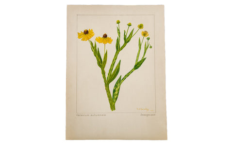 Sneezeweed Botanical Watercolor R.H. Greeley - Old New House