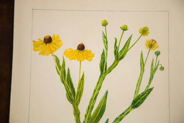 Sneezeweed Botanical Watercolor Rh Greeley