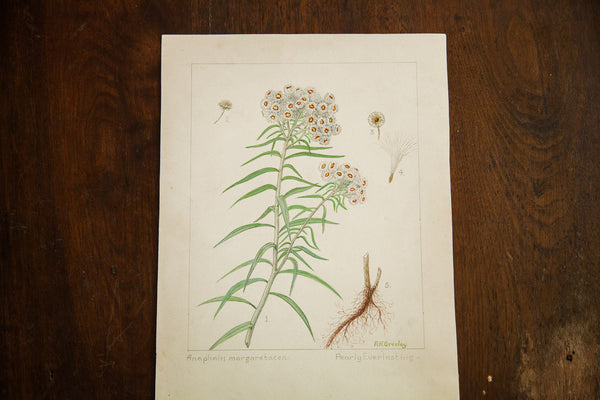 Pearly Everlasting Botanical Watercolor Rh Greeley