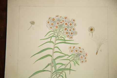 Pearly Everlasting Botanical Watercolor R.H. Greeley - Old New House