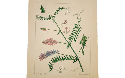 Cow Vetch Botanical Watercolor R.H. Greeley - Old New House