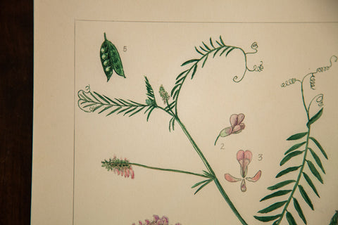 Cow Vetch Botanical Watercolor Rh Greeley