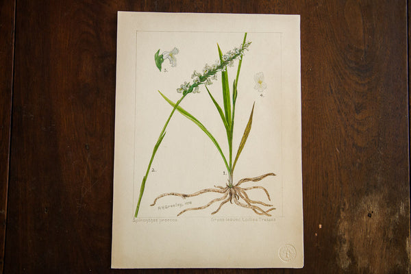 Grass-Leaved Ladies Tresses Botanical Watercolor R.H. Greeley - Old New House