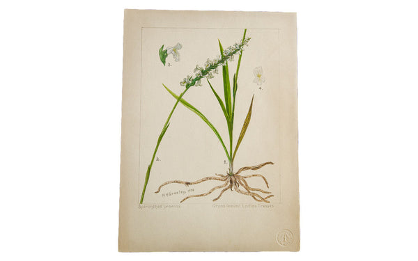 Grass-Leaved Ladies Tresses Botanical Watercolor R.H. Greeley