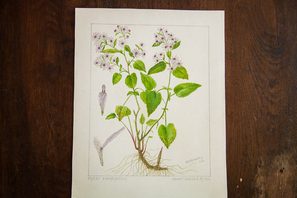 Heart-Leaved Aster Botanical Watercolor R.H. Greeley - Old New House