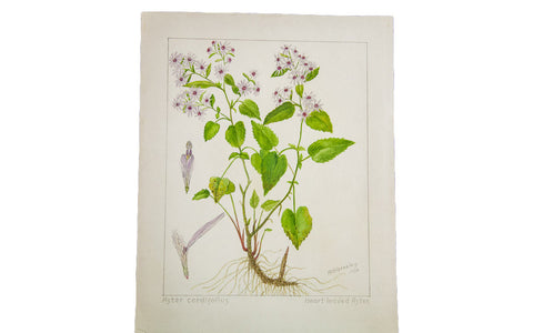 Heart-Leaved Aster Botanical Watercolor R.H. Greeley