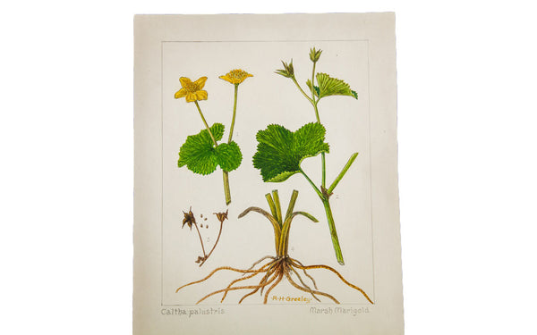 Marsh Marigold Botanical Watercolor R.H. Greeley - Old New House