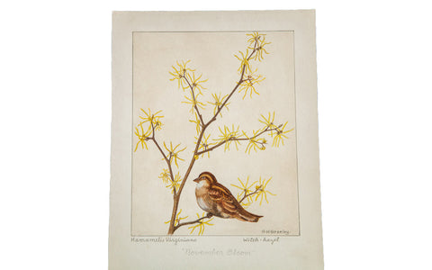 Witch-Hazel Botanical Watercolor R.H. Greeley - Old New House