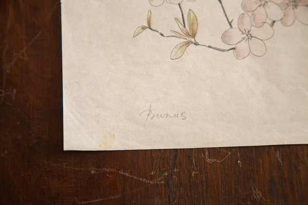 Antique Prunus Watercolor, Casual Sketch Series - Old New House